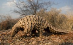 Celebrating World Pangolin Day